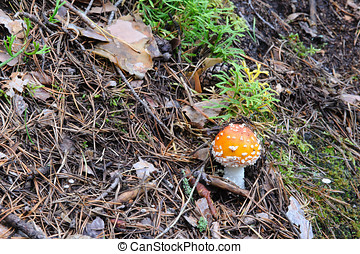 Fly agaric in the forest close up