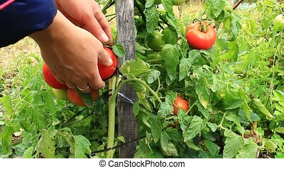 harvesting red tomatoes in the bush