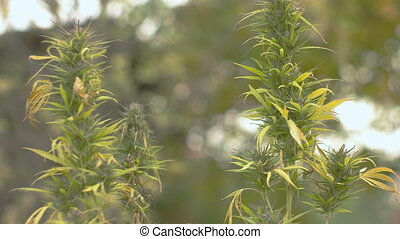 Homegrown Marijuana Plant - Tilting shot of well grown...