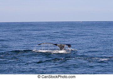 Whale tail - Whale with tail and waterdrops out of ocean