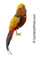 Male Pheasant - Isolated
