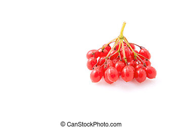Viburnum - Berries of red viburnum isolated on white...