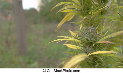 Homegrown Marijuana Plant - Static shot of Marijuana flower...