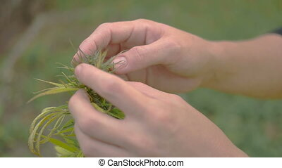Homegrown Marijuana Plant - Caucasian woman looking through...