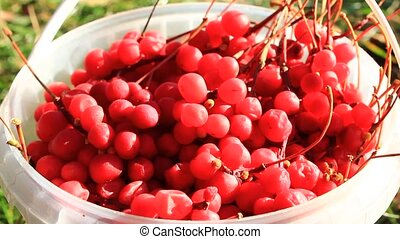 harvest of red schizandra - rich harvest of ripe and red...