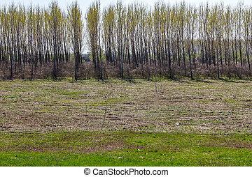 Young poplars trees are growing in rows, plantation for...