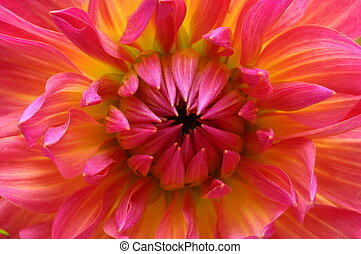 Macro of pink flower aster - Close up of pink and yellow...