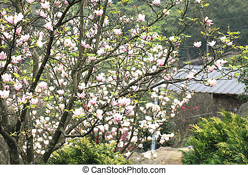 Lotus-flowered Magnolia,Large-flowered Magnolia,many...