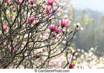 Lotus-flowered Magnolia,Large-flowered Magnolia,many...
