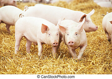 piglets on hay and straw at pig breeding farm - two young...
