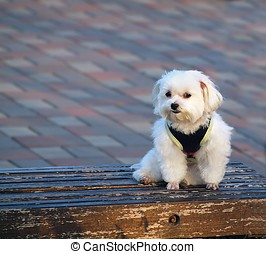 Bichon Frise on a Bench - A cute bichon dog sits patiently...