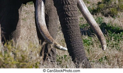 big tusks on huge african elephant