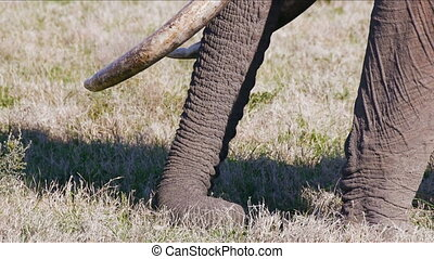 tilt up huge elephant, with big tusks