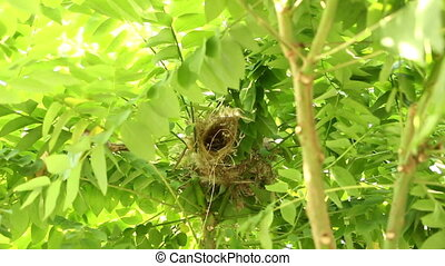Ricebird will return to nest. Respondents put the eggs in...