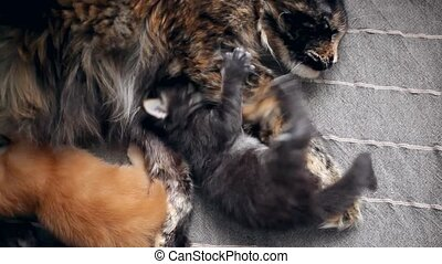 Maine Coon kitten with mom cat
