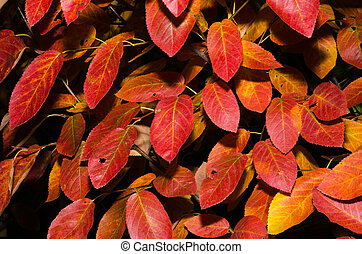 Colored shad blow leaves - Colorful shad blow leaves in fall...