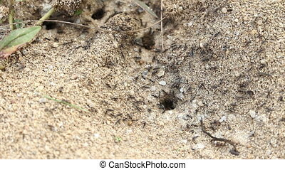 ants nesting - Ants carrying clay out of the nest