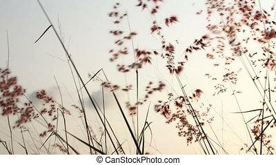 Windblown grass on the sun rises - Windblown grass on a...