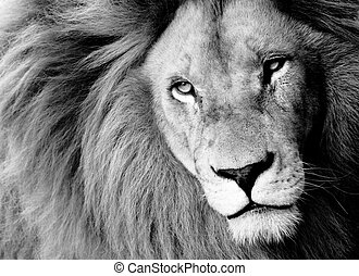 Lion - Close up of Male Lion, BW