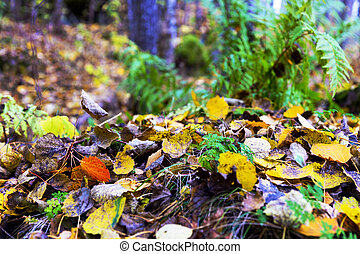 Aspen leaves and ferns in forest in autumn