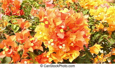 Yellow and Orange bougainvillea