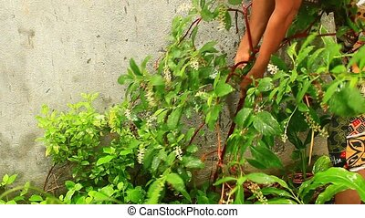 woman harvesting ginseng