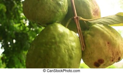 Hand picking guavas