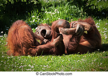 2 Orangutans at play in a field