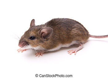 White-Footed Mouse Isolated - Wild White-Footed Mouse...