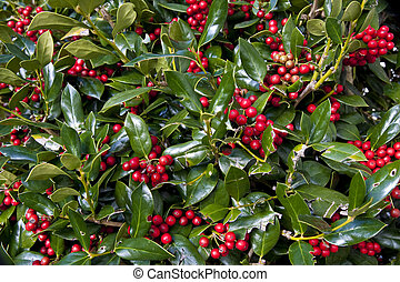 Holly Bush - Close up of orange berries and green leaves of...