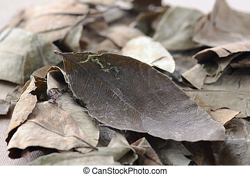 leaf of coca - dried coca leaves for preparation of the...
