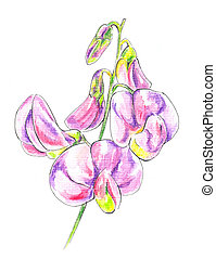 Sweet Peas (lathyrus) - Sweet Peas (lathyrus). Watercolour...