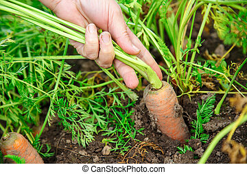 Hand dragging young carrot - Female hand dragging young...