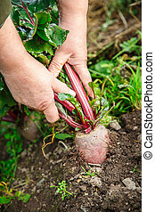 Hand dragging young beetroot - Female hand dragging young...
