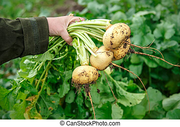 Hand dragging young turnip - Female hand holding young...
