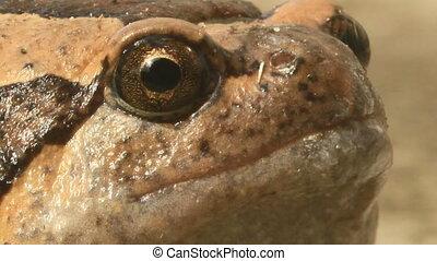 Strange bullfrog