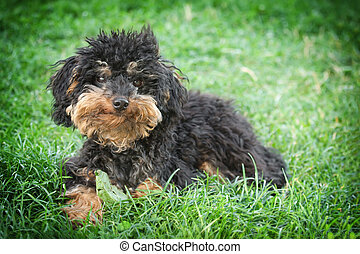 Small shaggy dog - A tramp small shaggy dog