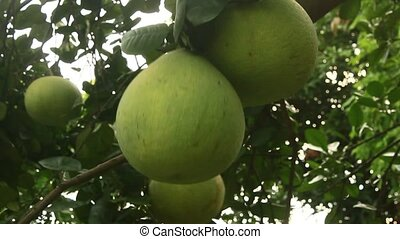 grapefruit on tree