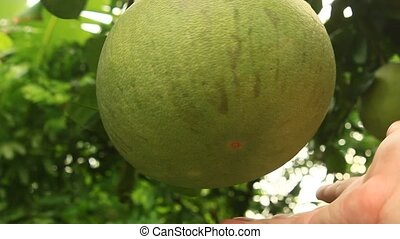 hand picking a grapefruit on tree