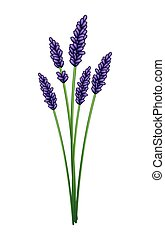 Bunch of Purple Lavender Flowers on White Background -...