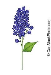 Blue Lilac or Syringa Vulgaris on White Background -...