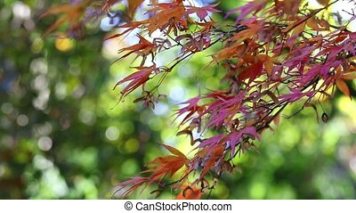 Branch of japanese maple in the breeze