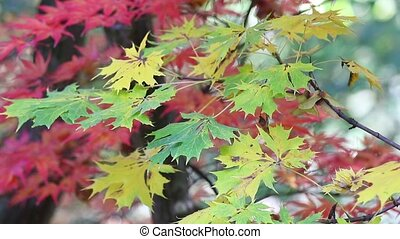 Green and red maple leaves in the breeze - Closeup of...