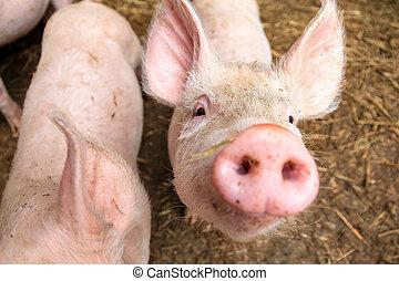 Pig curiosity