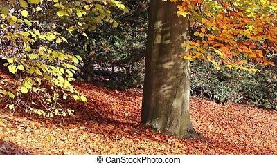Beech in the autumn park - Moving footage from the autumn...