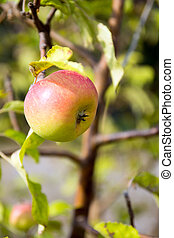 Apple Tree - an apple on an apple tree