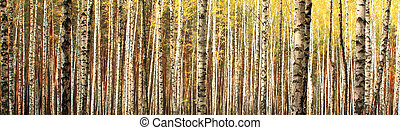 birch forest landscape panorama