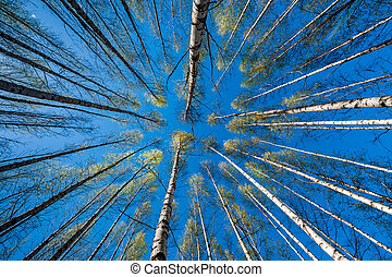 Springtime - When the leaves at the birches are as...
