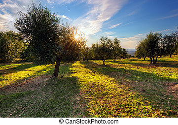 Olive trees in Tuscany, Italy at sunset. Sun shining through...