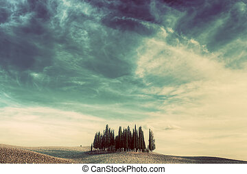Cypress trees on the field in Tuscany, Italy at sunset....